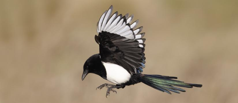 Magpie swooping