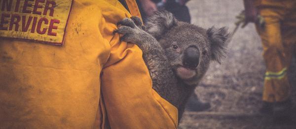 A re-enactment of David Tree rescuing the koala.