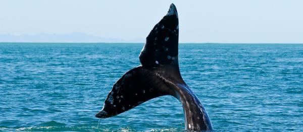 Whale's Fluke Rising From the Ocean